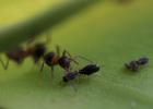 Symbiosis-ants.tif
