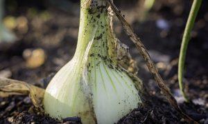 grow onion